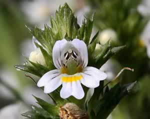 eyebright is a great natural antibiotic for sinus infections